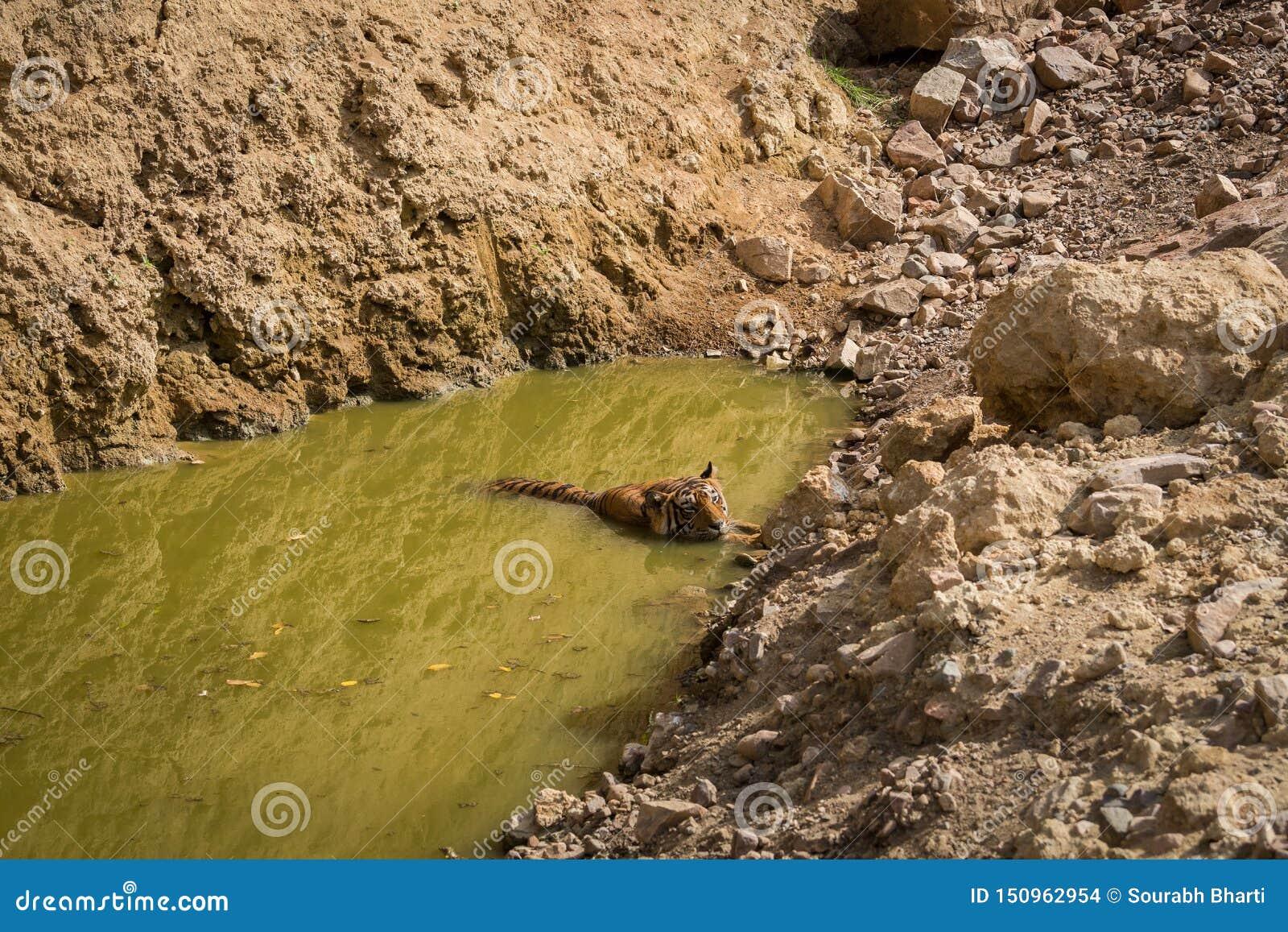 Tigre masculino real de Bengala que descansa cerca de cuerpo del agua Animal en fondo verde cerca de la corriente del bosque en e