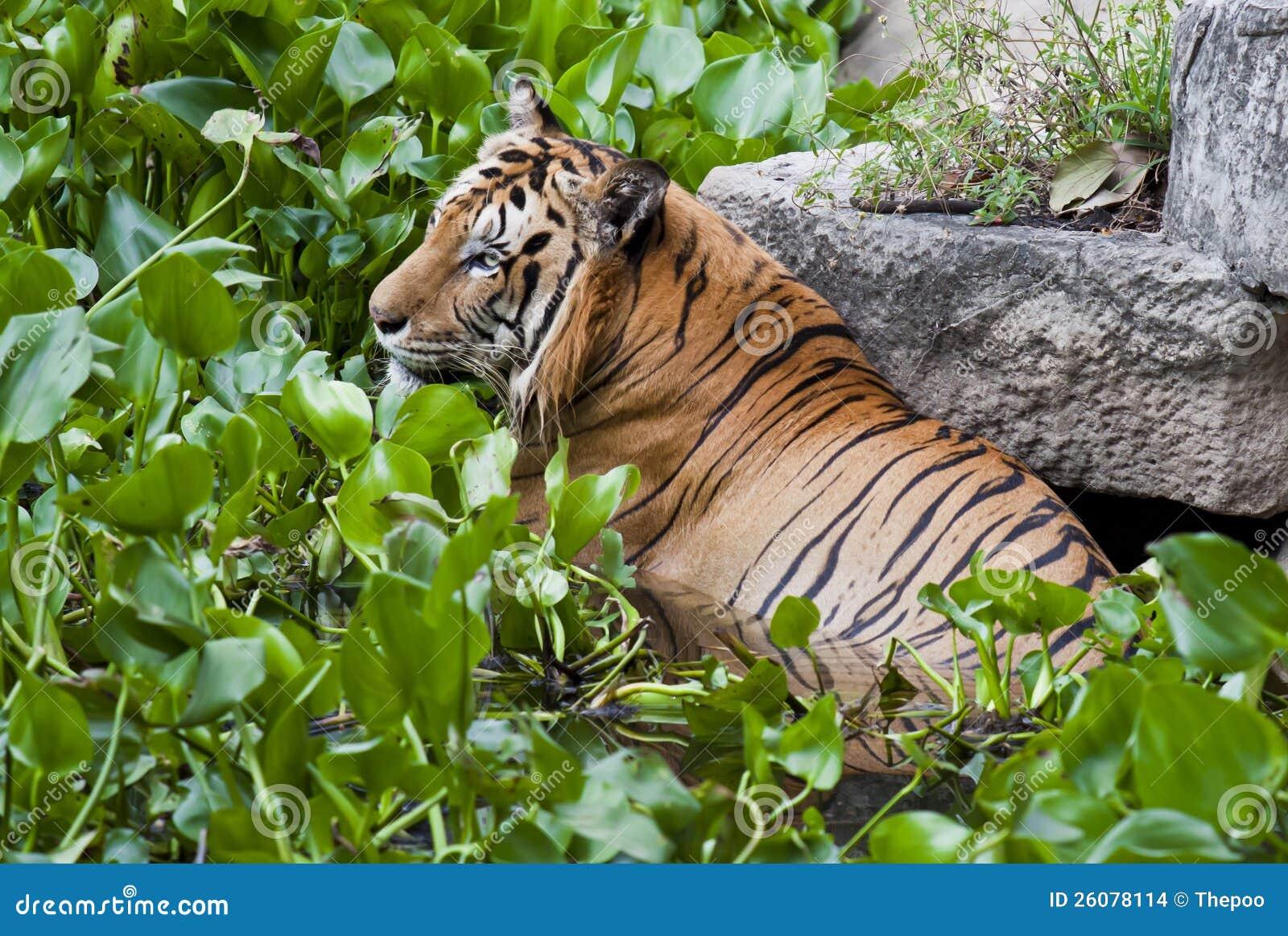 Tigre na água