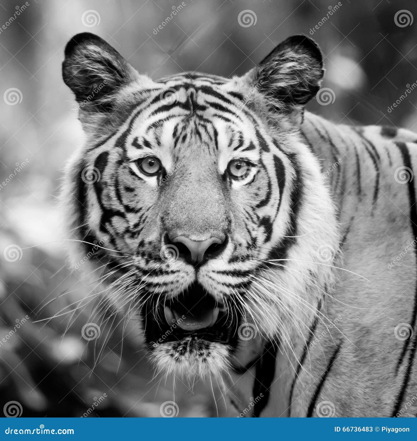 tigre noir et blanc photo stock image 66736483. Black Bedroom Furniture Sets. Home Design Ideas