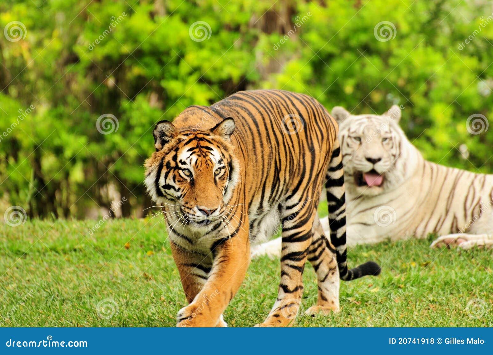 Tigre orange et tigre blanc photo stock image 20741918 - Images tigres gratuites ...