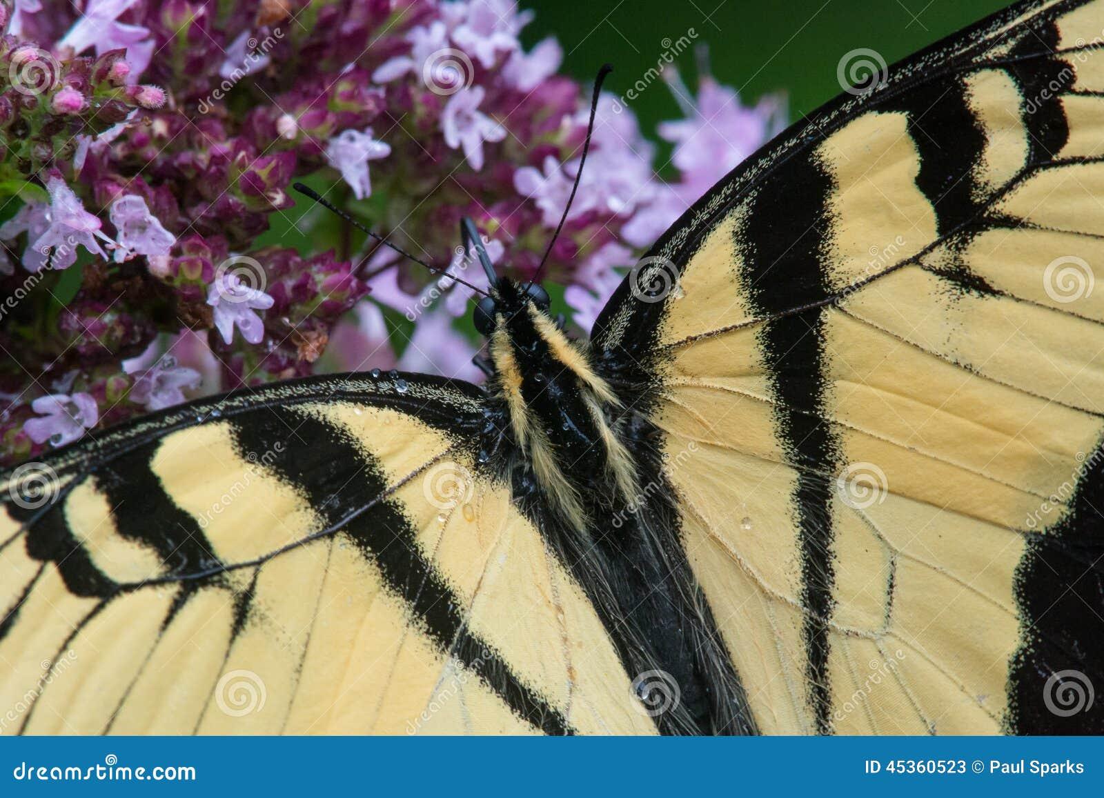 Tigre oriental Swallowtail