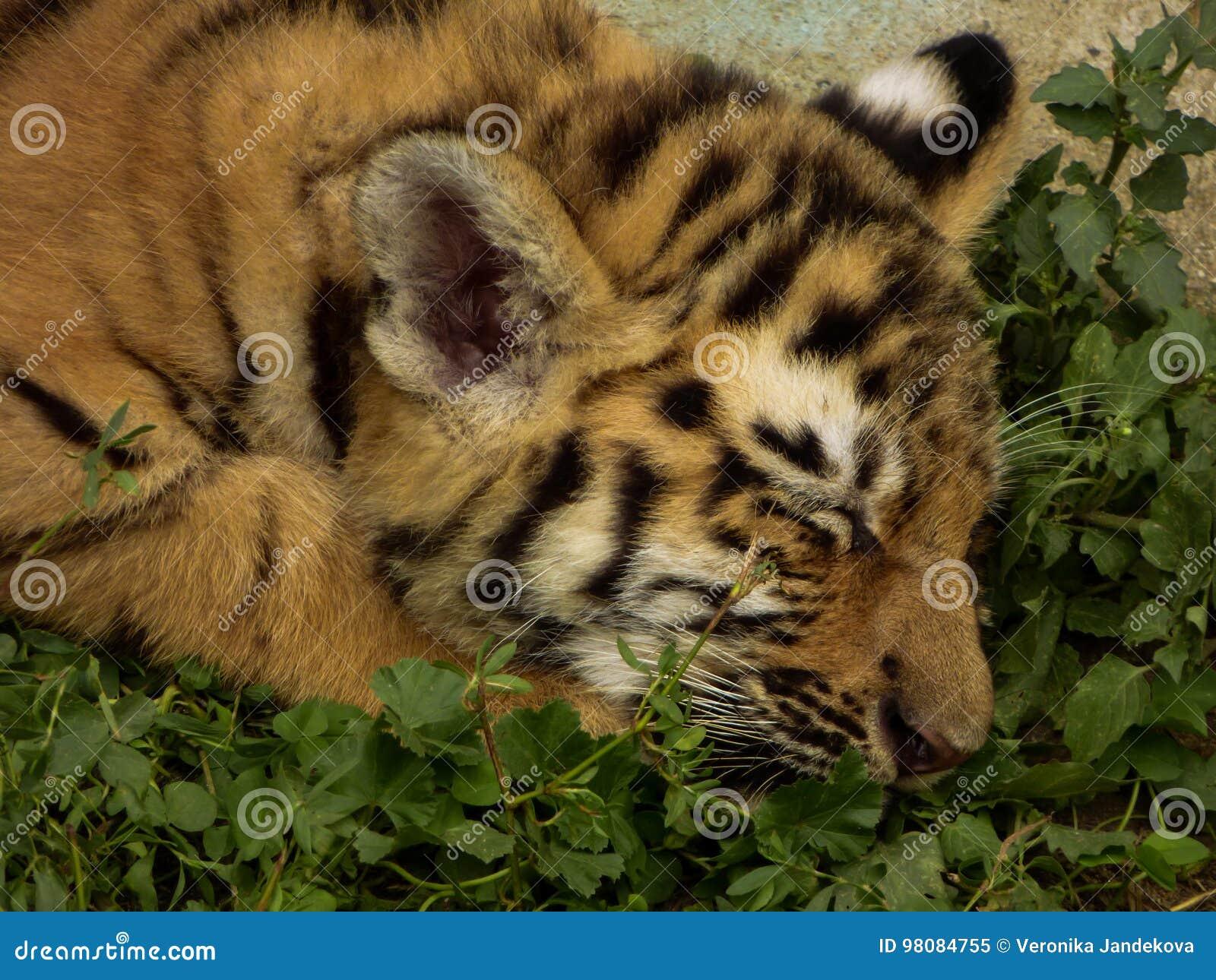Tigre pequeno