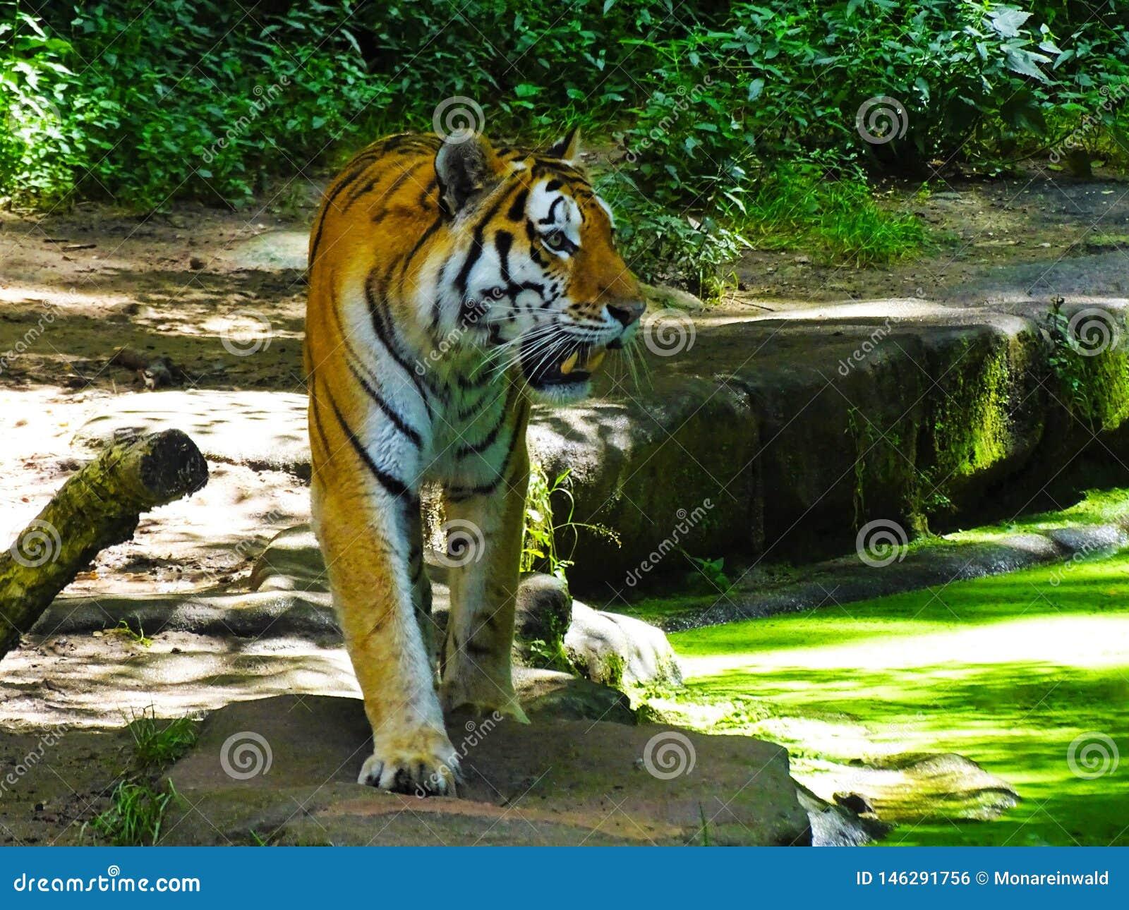Tigre que camina en el parque zoológico Augsburg en Alemania