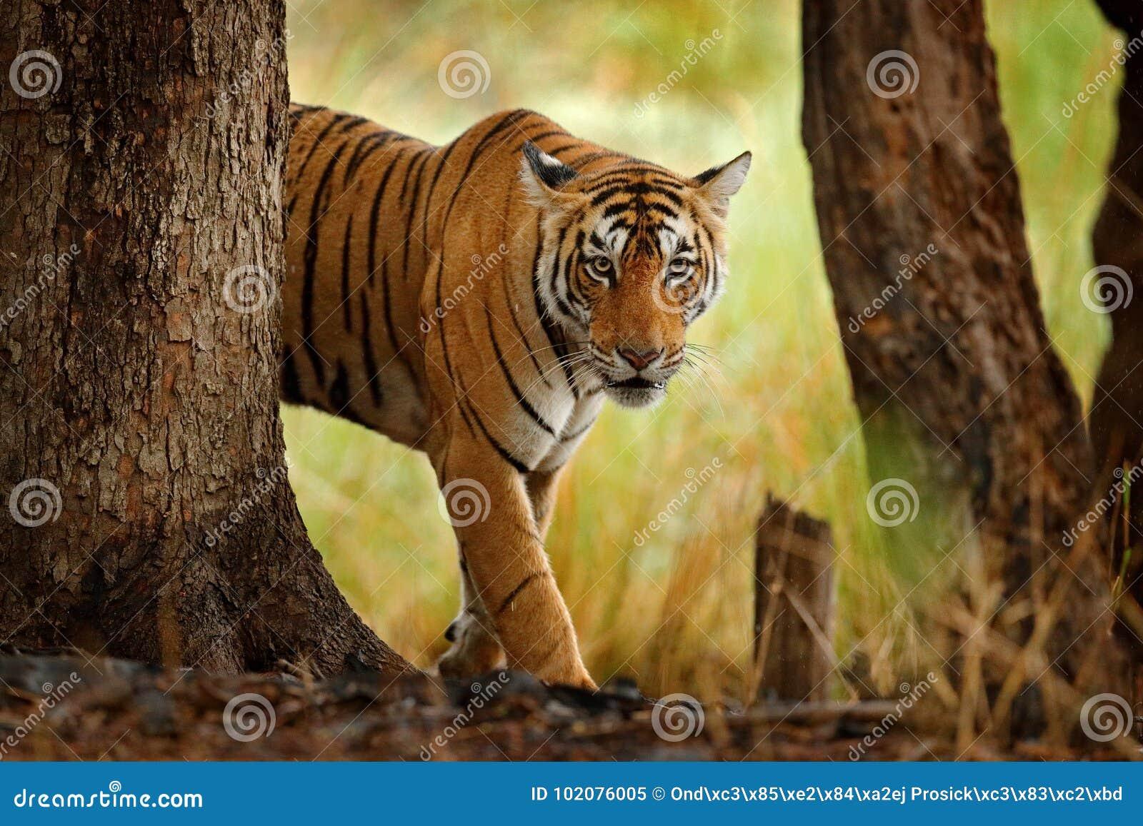 Tigre que camina en tigre indio del bosque seco viejo con la primera lluvia, animal salvaje en el hábitat de la naturaleza, Ranth