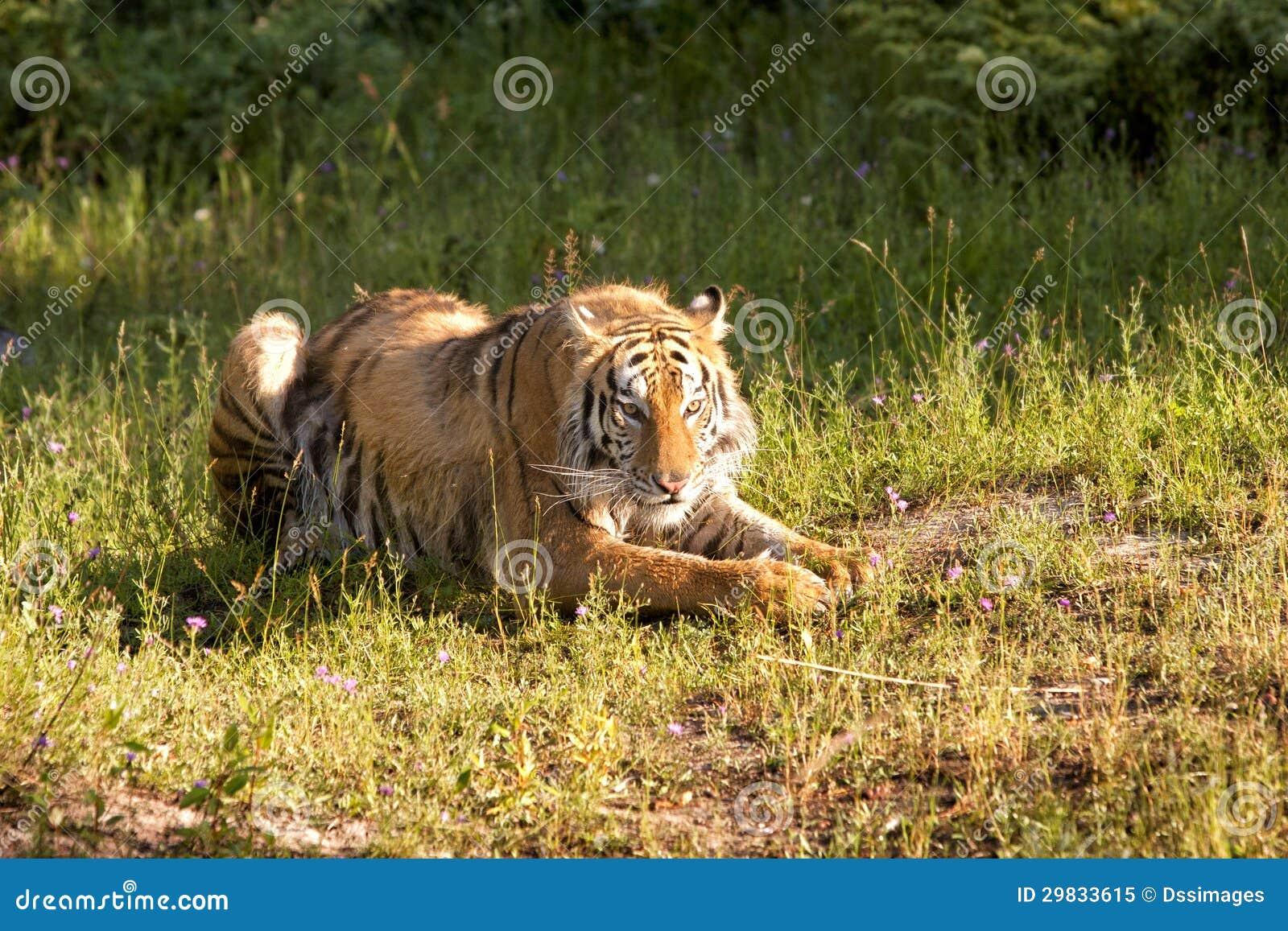 Descanso do tigre