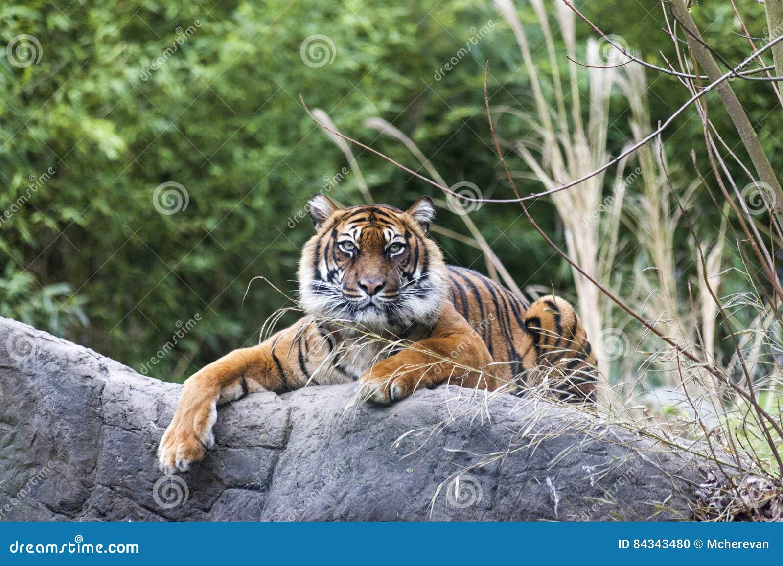 Famoso Tigre Rayado Uñas Viñeta - Ideas Para Pintar Uñas - knxc.info