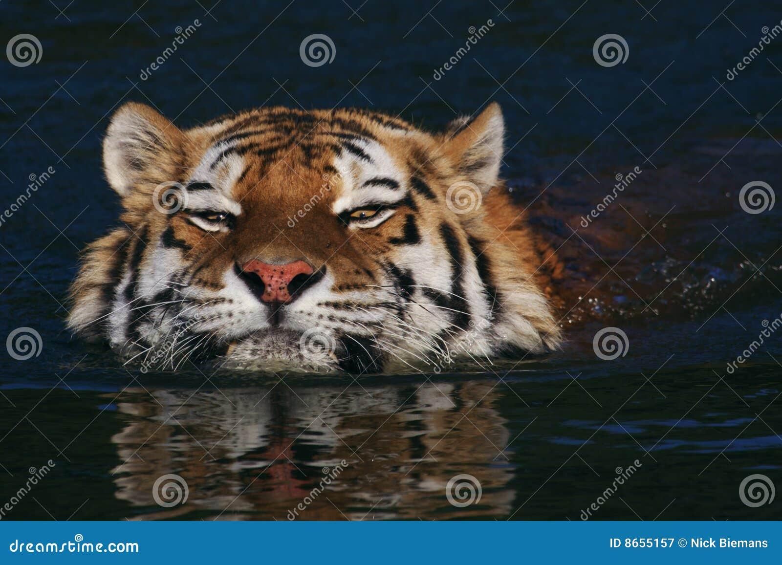 Tigre sibérien de natation