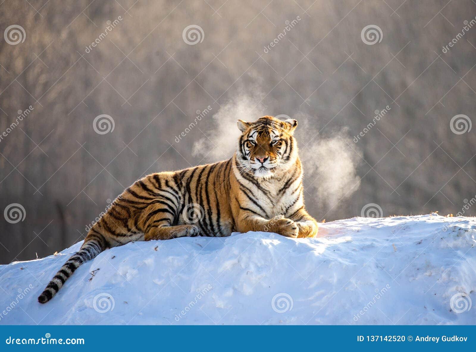 Tigre sibérien se trouvant sur une colline couverte de neige Portrait contre la forêt Chine d hiver harbin Province de Mudanjiang