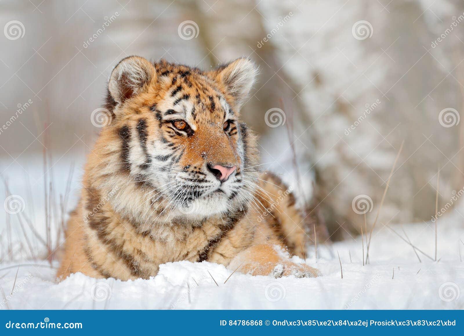 Tigre Siberian na queda da neve, árvore de vidoeiro Tigre de Amur que senta-se na neve Tigre na natureza selvagem do inverno Cena