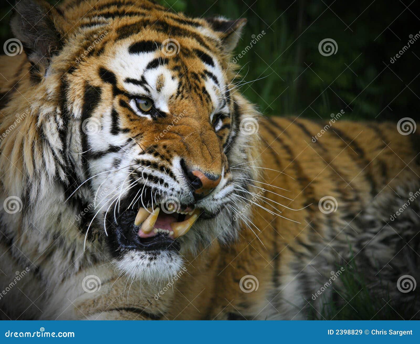tigre siberiana di ringhio immagine stock immagine di