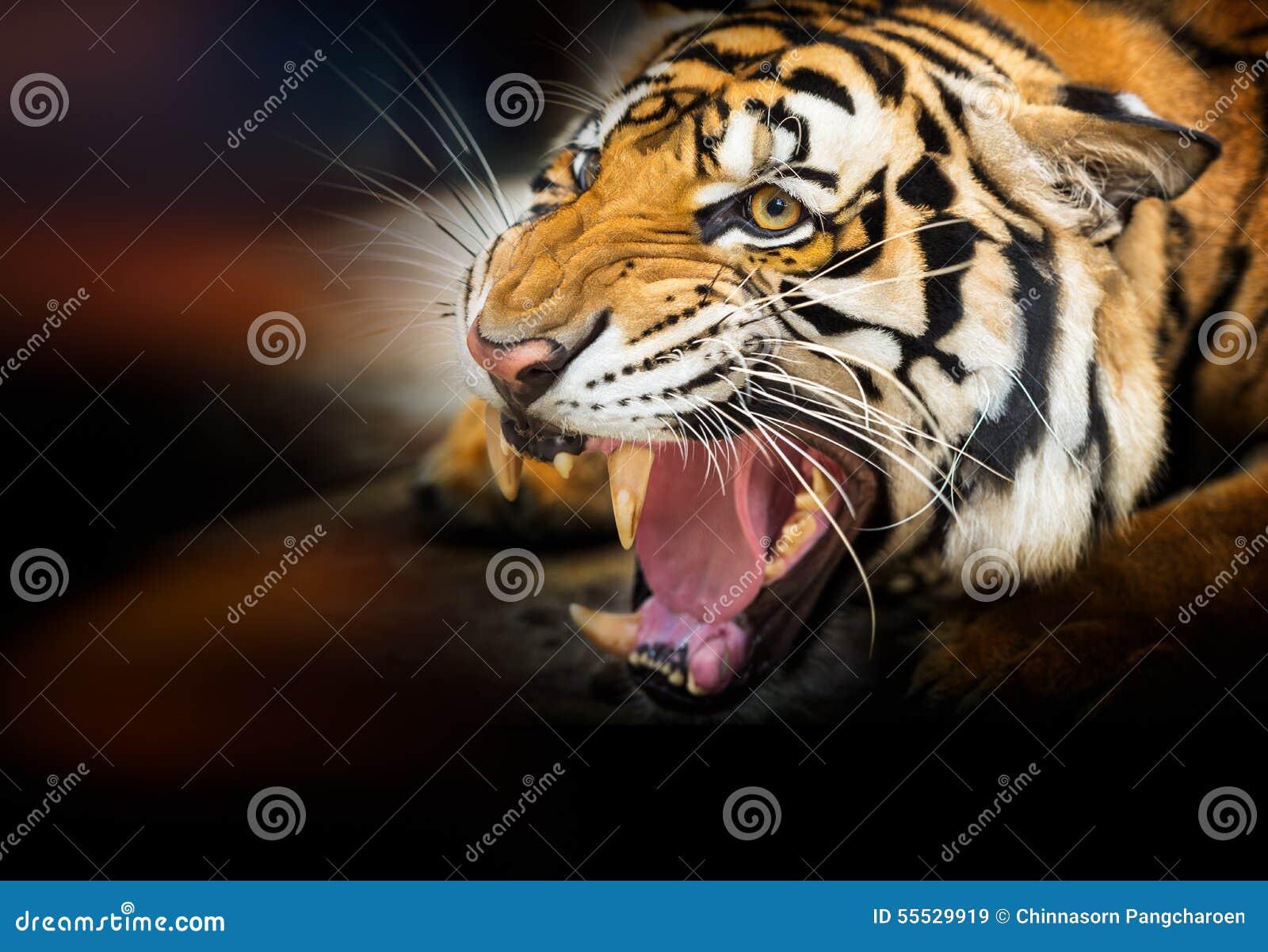 Tigre siberiana di ringhio