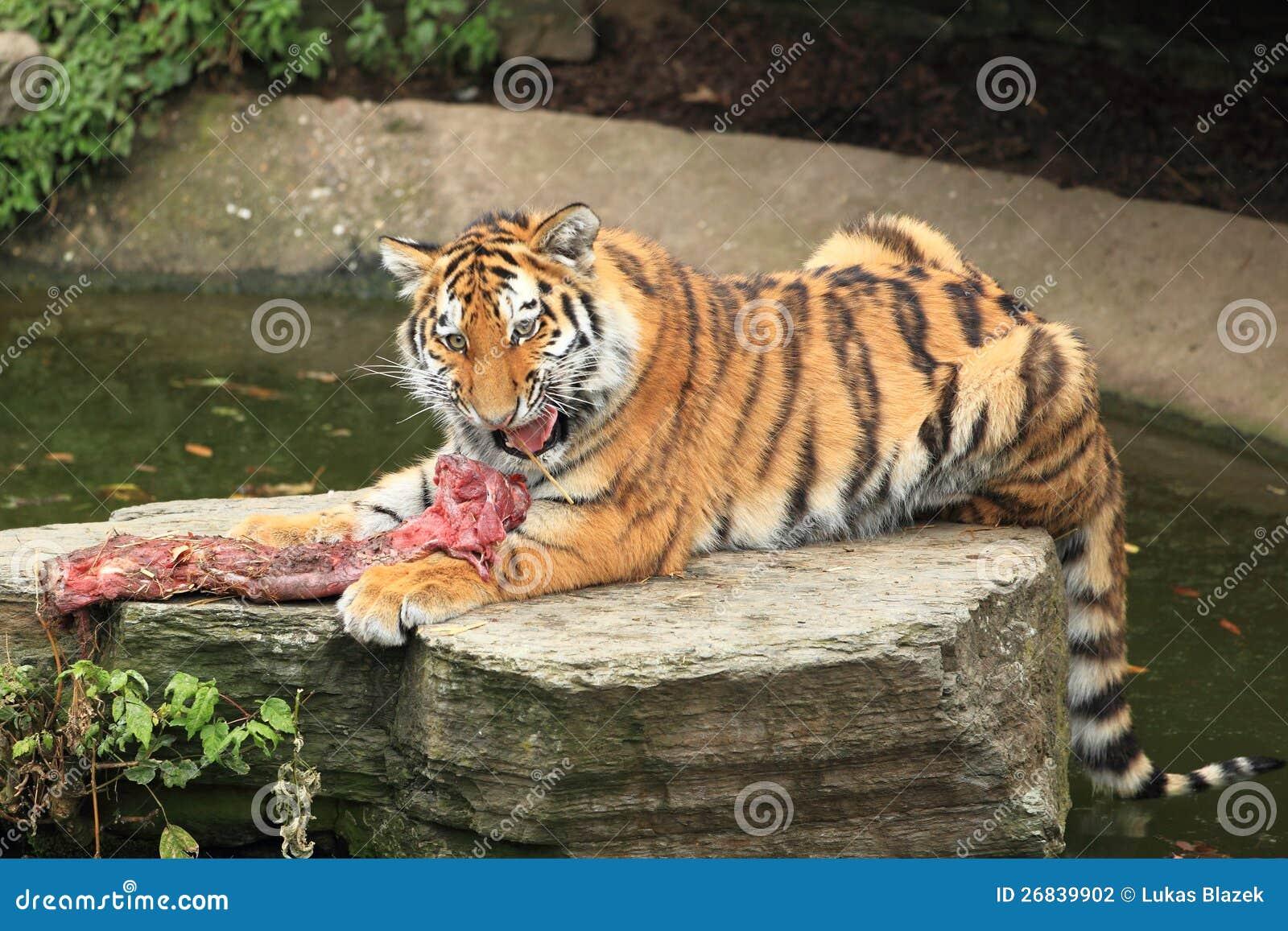177 El Tigre Siberiano Come Fotos Libres De Derechos Y Gratuitas De Dreamstime
