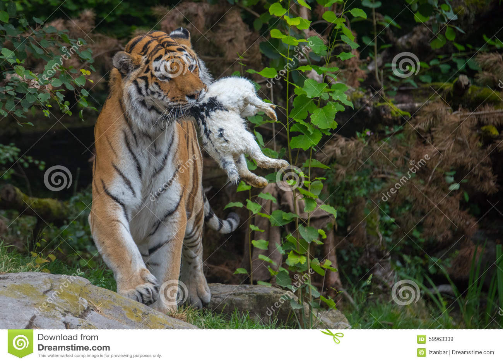 Tigre Siberiano Mientras Que Le Come Y Mira Imagen De Archivo Imagen De Grande Color 59963339
