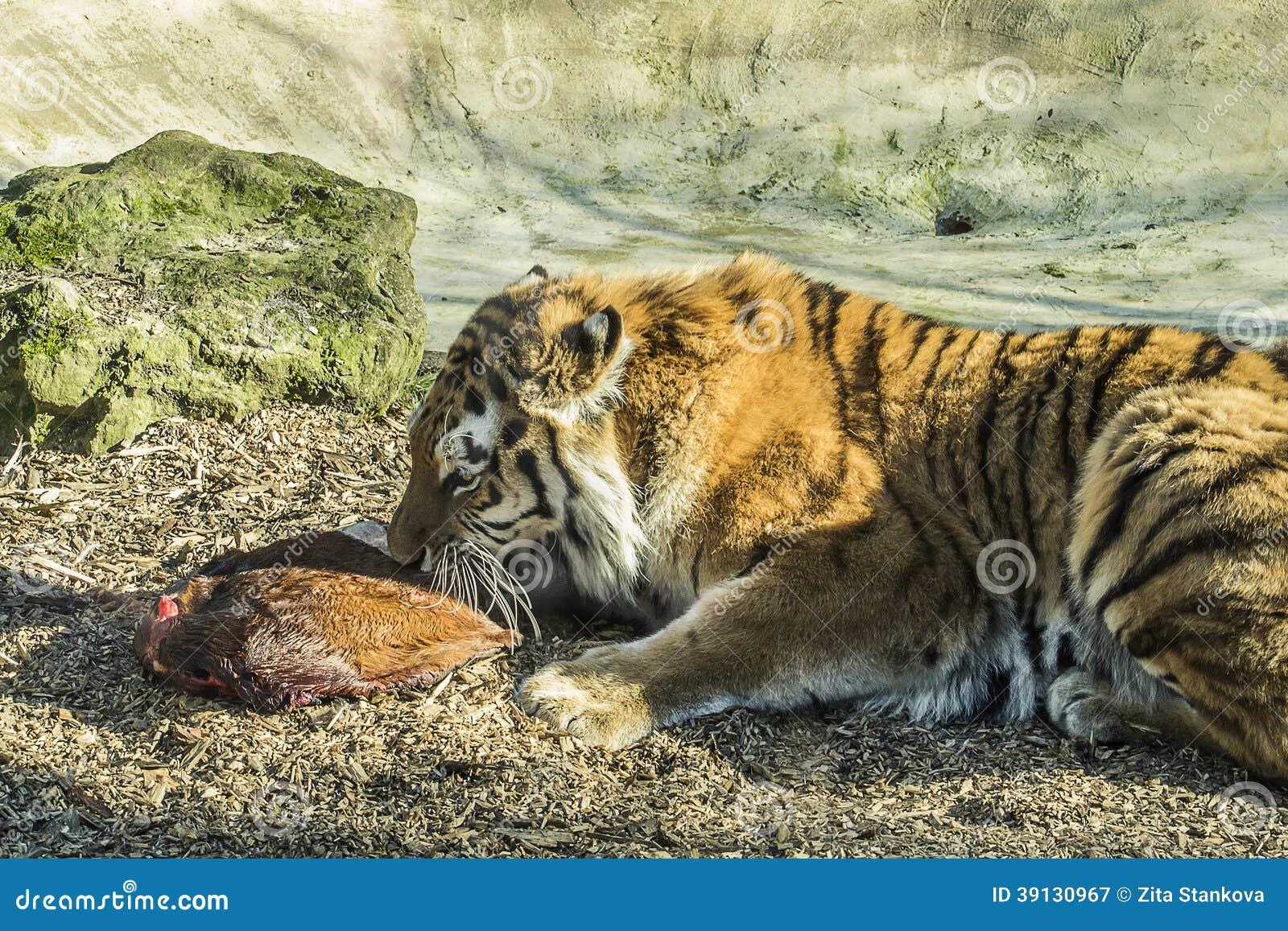 Tigre Siberiano Que Come Un Pedazo De Carne Imagen De Archivo Imagen De Animal Undomesticated 39130967