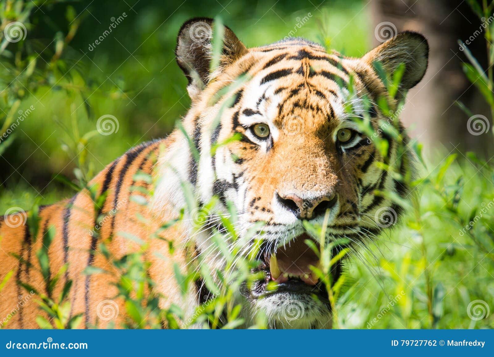 Tigre siberiano salvaje en la selva