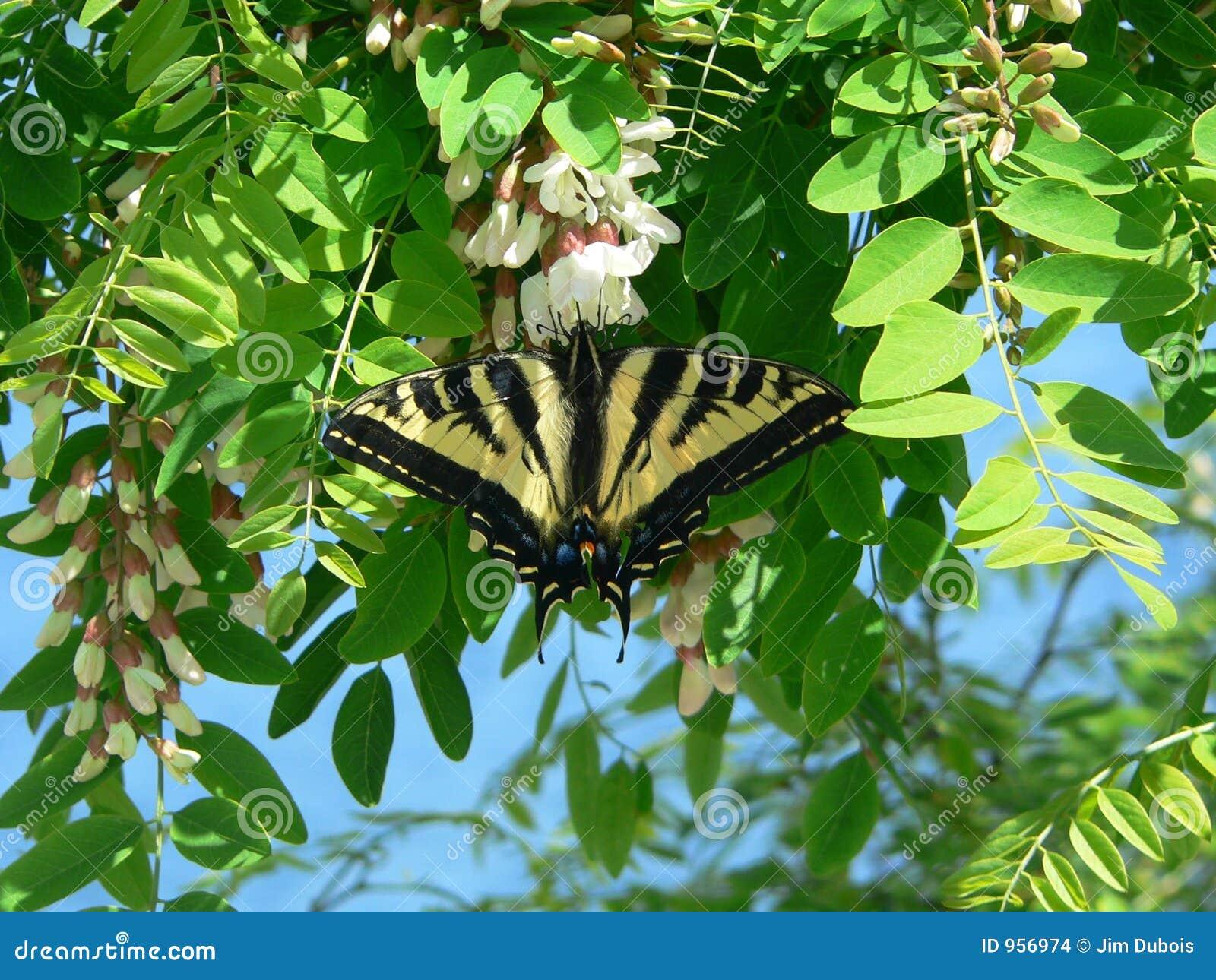 Tigre Swallowtail