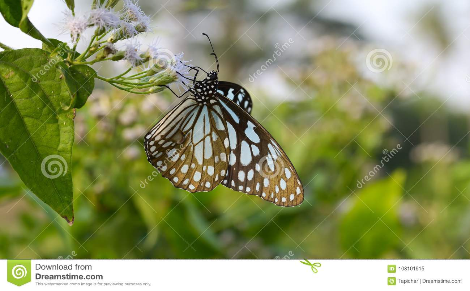 Tigre vítreo azul da borboleta bonita