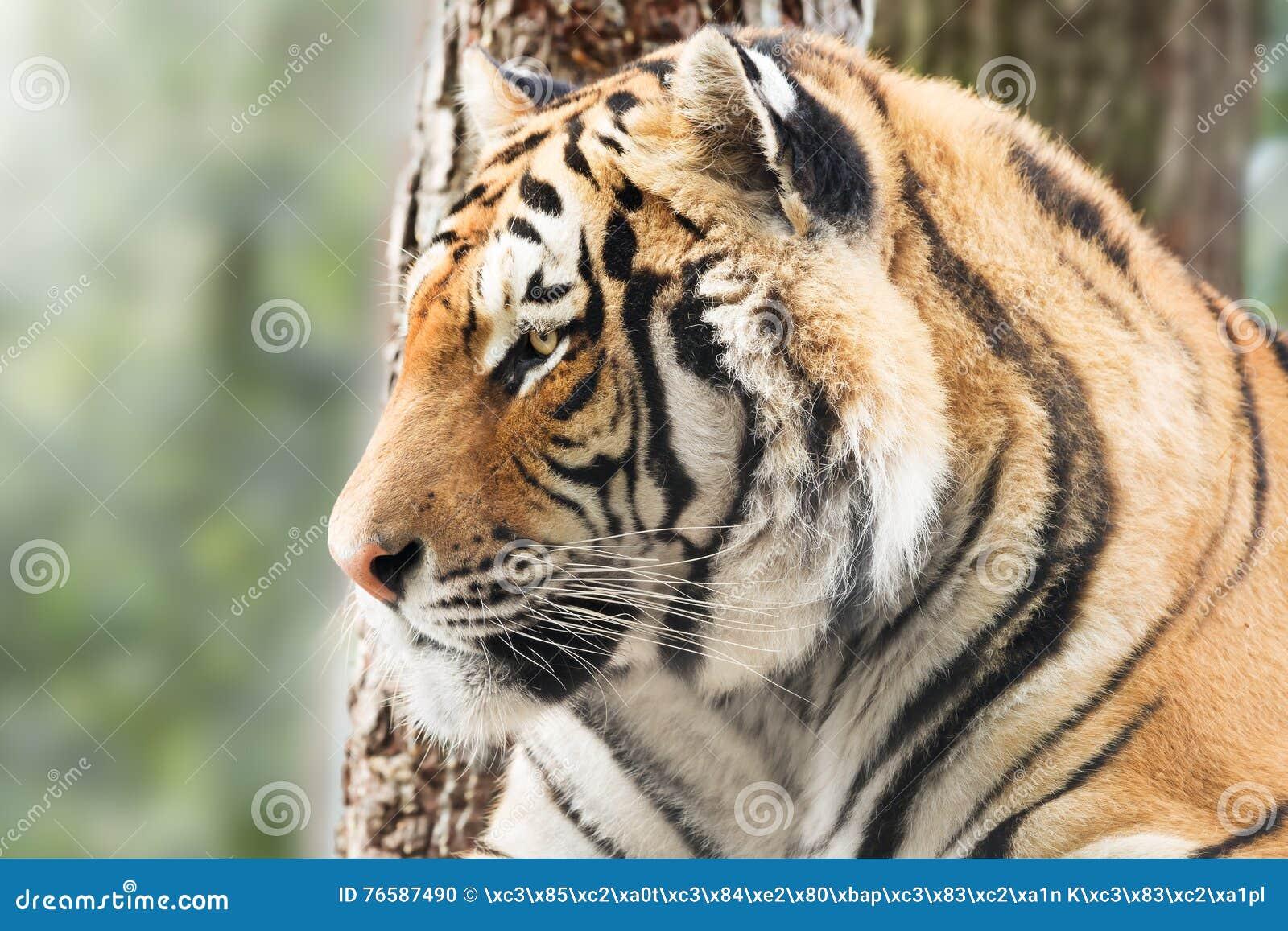 Tigre vigilante