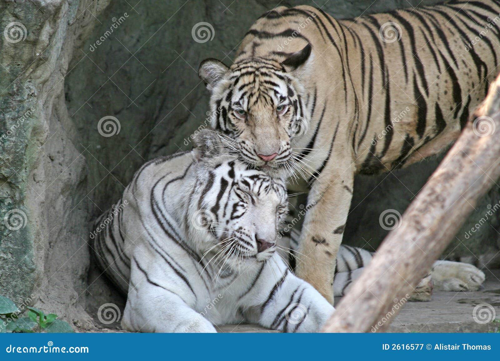 Tigres de bengale photographie stock libre de droits - Images tigres gratuites ...