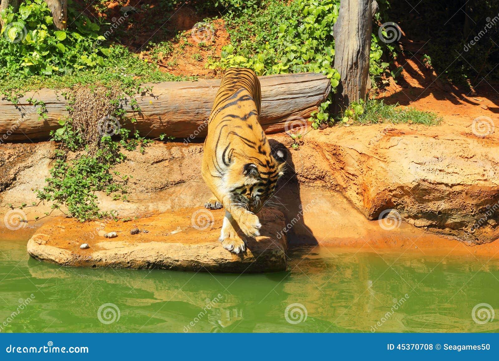 Tigres en zoos et nature
