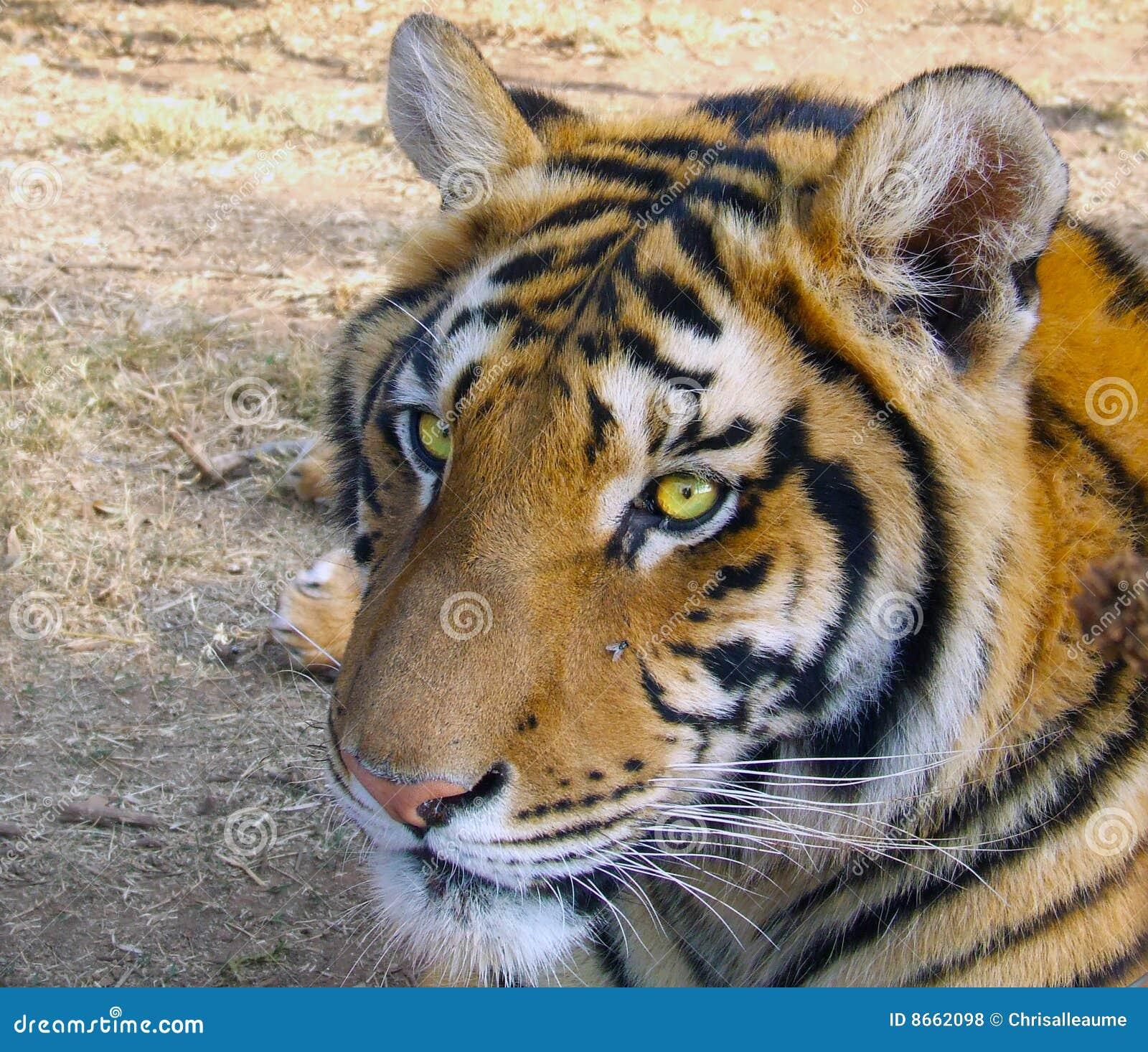 Tigres percés en vrille de yeux