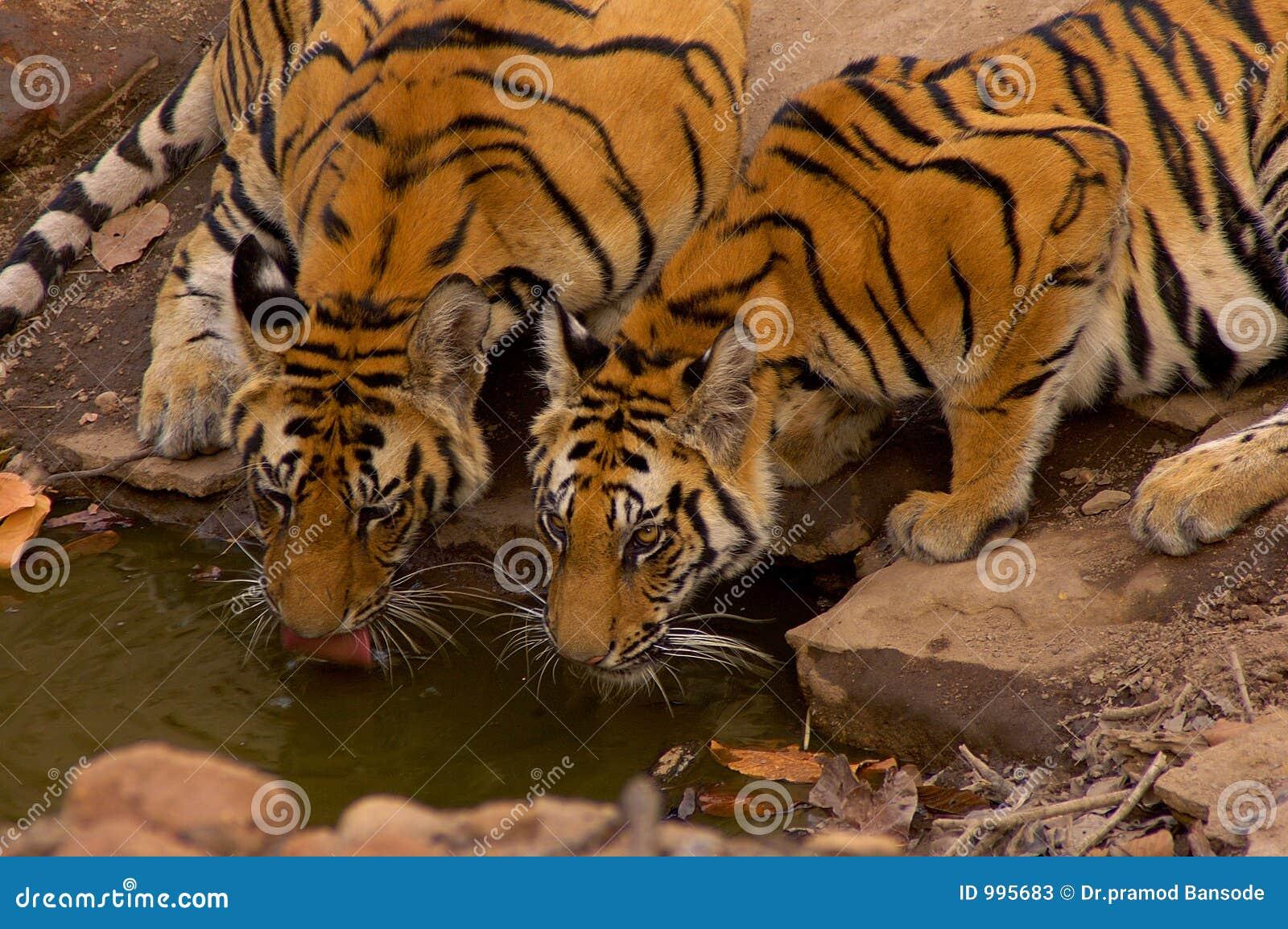 Tigres sur le waterhole