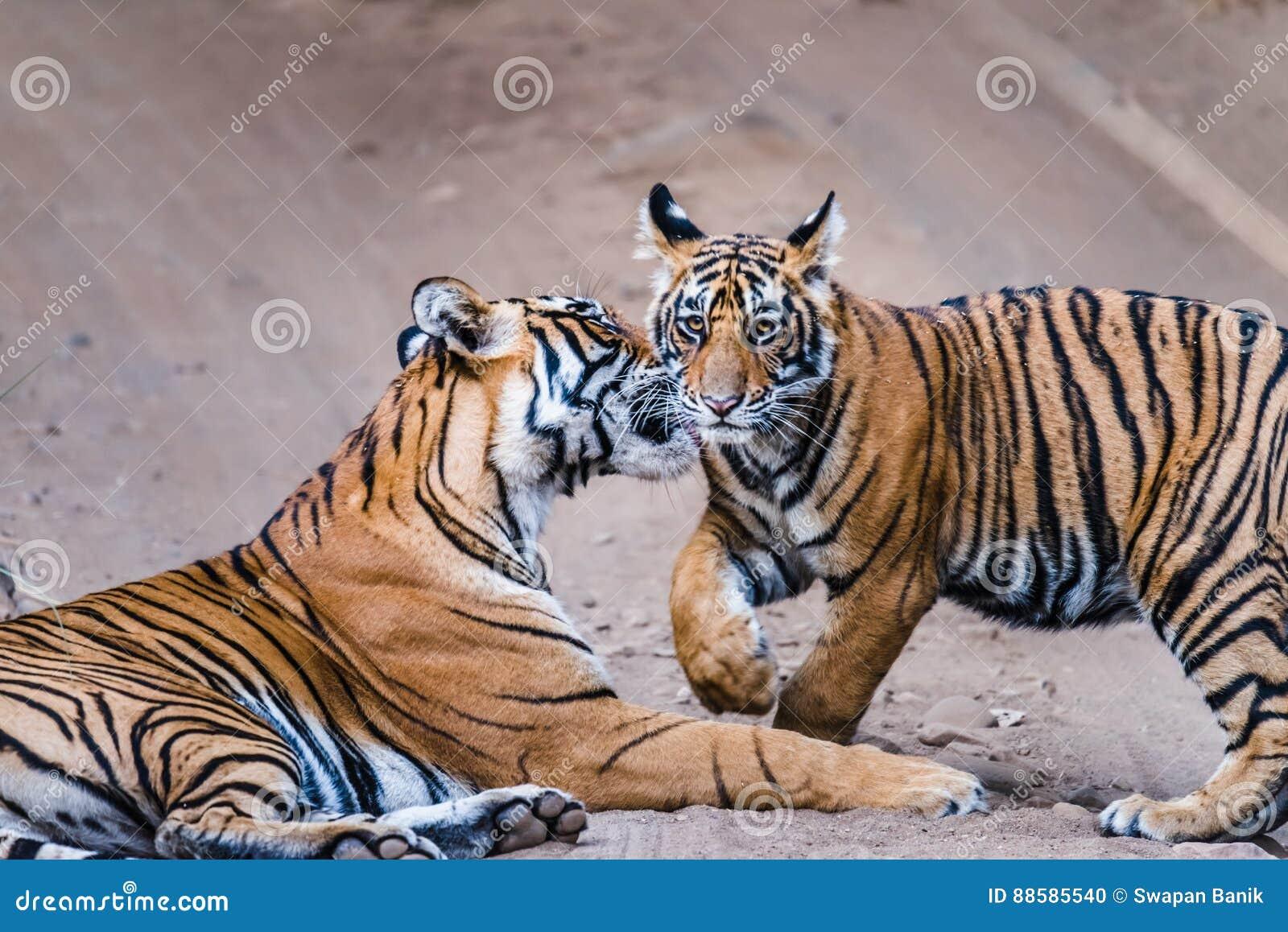 Tigresse Noor avec l petit animal