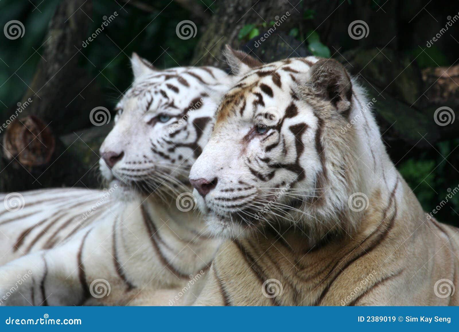 Tigri bianche immagini stock libere da diritti immagine for Disegni delle tigri