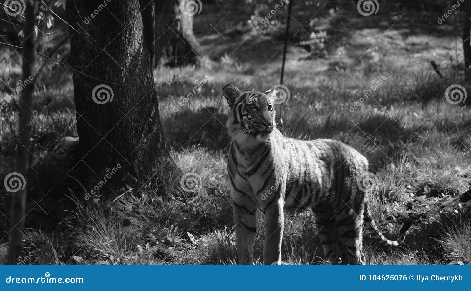 Download Tigris stock foto. Afbeelding bestaande uit tijger, tigris - 104625076