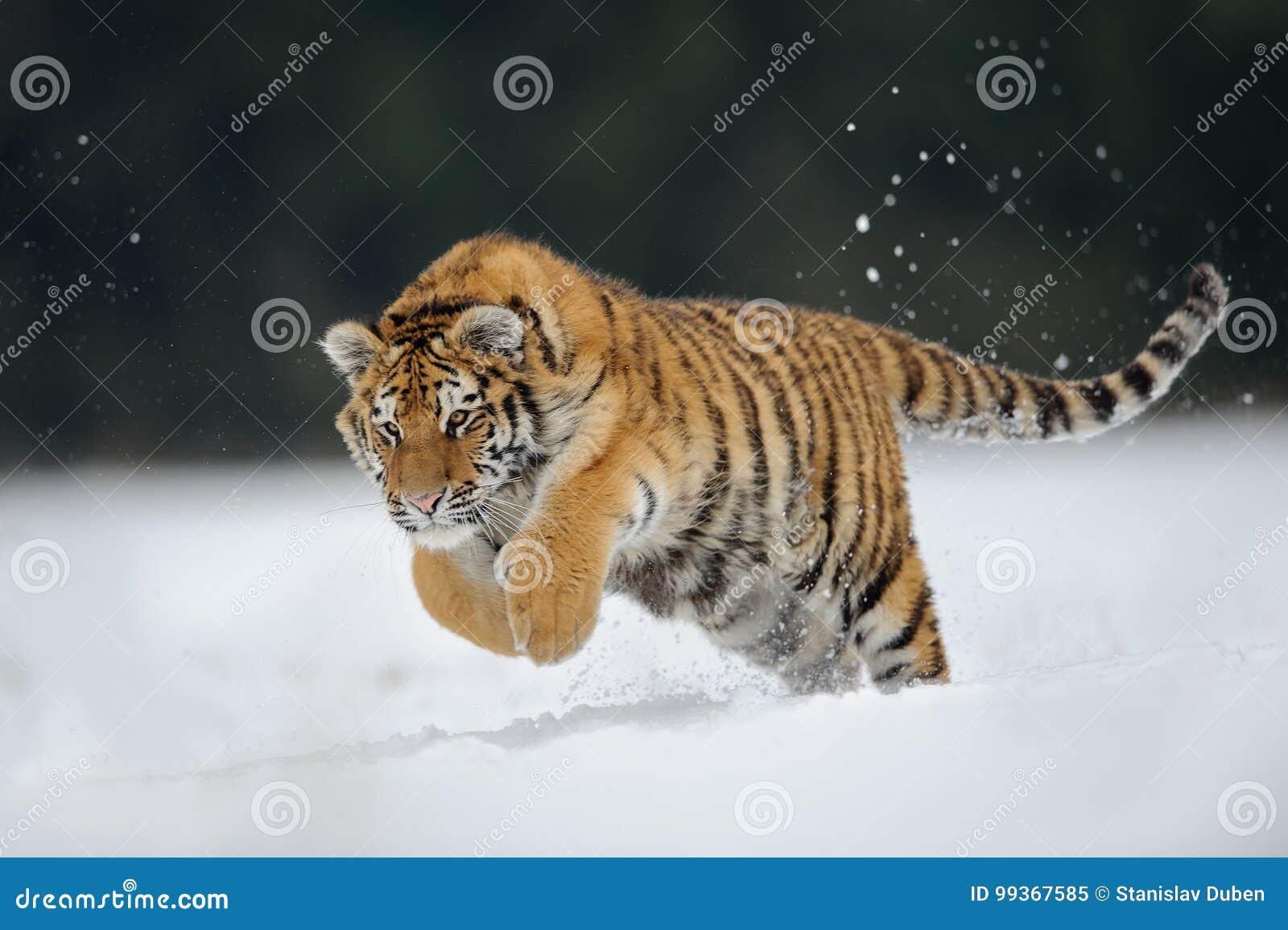 Tijger die op sneeuw springt