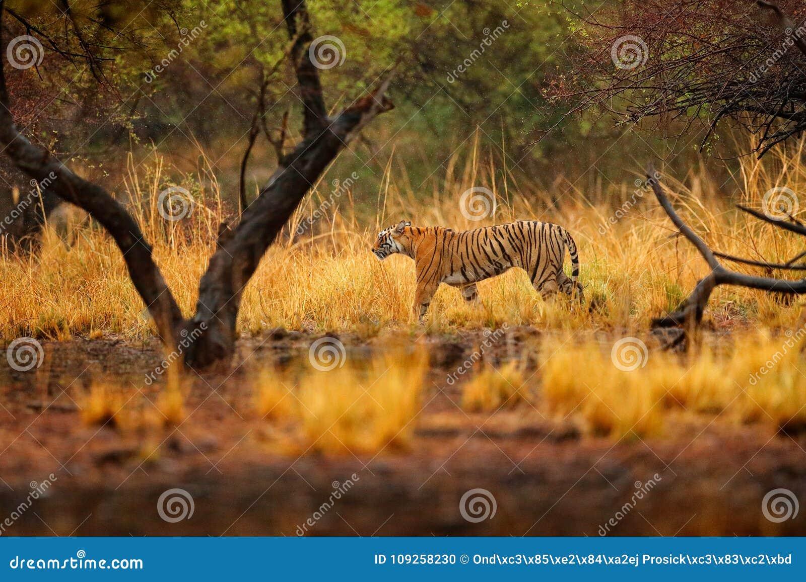 Tijger die tussen bomen lopen Indisch tijgerwijfje met eerste regen, wild dier in de aardhabitat, Ranthambore, India Grote kat,
