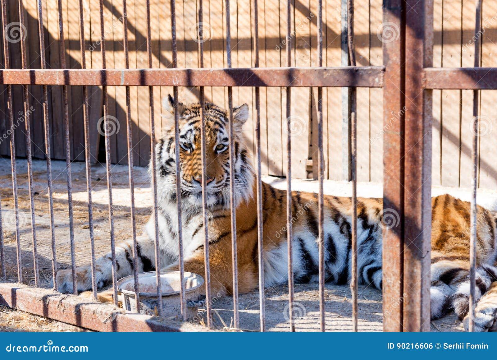 Tijger in gevangenschap in een dierentuin achter de tralies Macht en agressie in de kooi