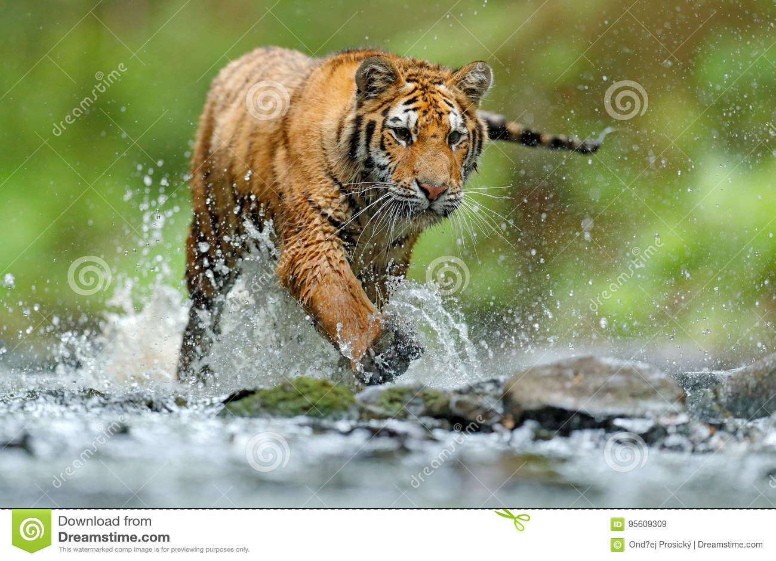 Tijger met het water van de plonsrivier Het wildscène van de tijgeractie, wilde kat, aardhabitat Tijger die in water loopt Gevaar