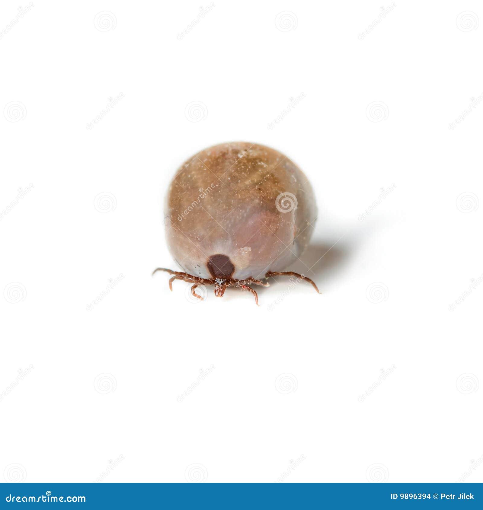 Tik - parasiet op witte achtergrond
