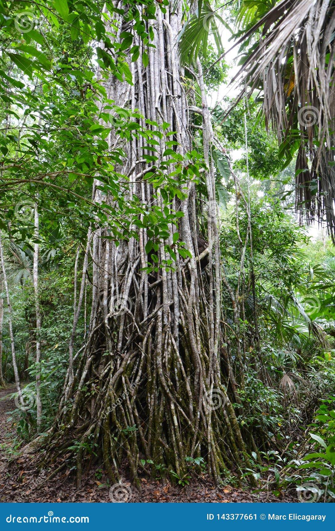 Tikal Archeologische Plaats in Guatemala