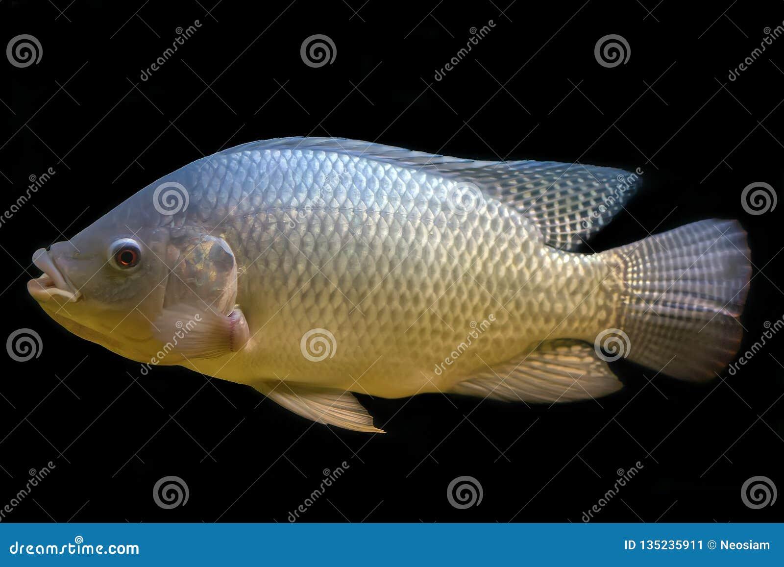 Tilapia ψάρια στη δεξαμενή