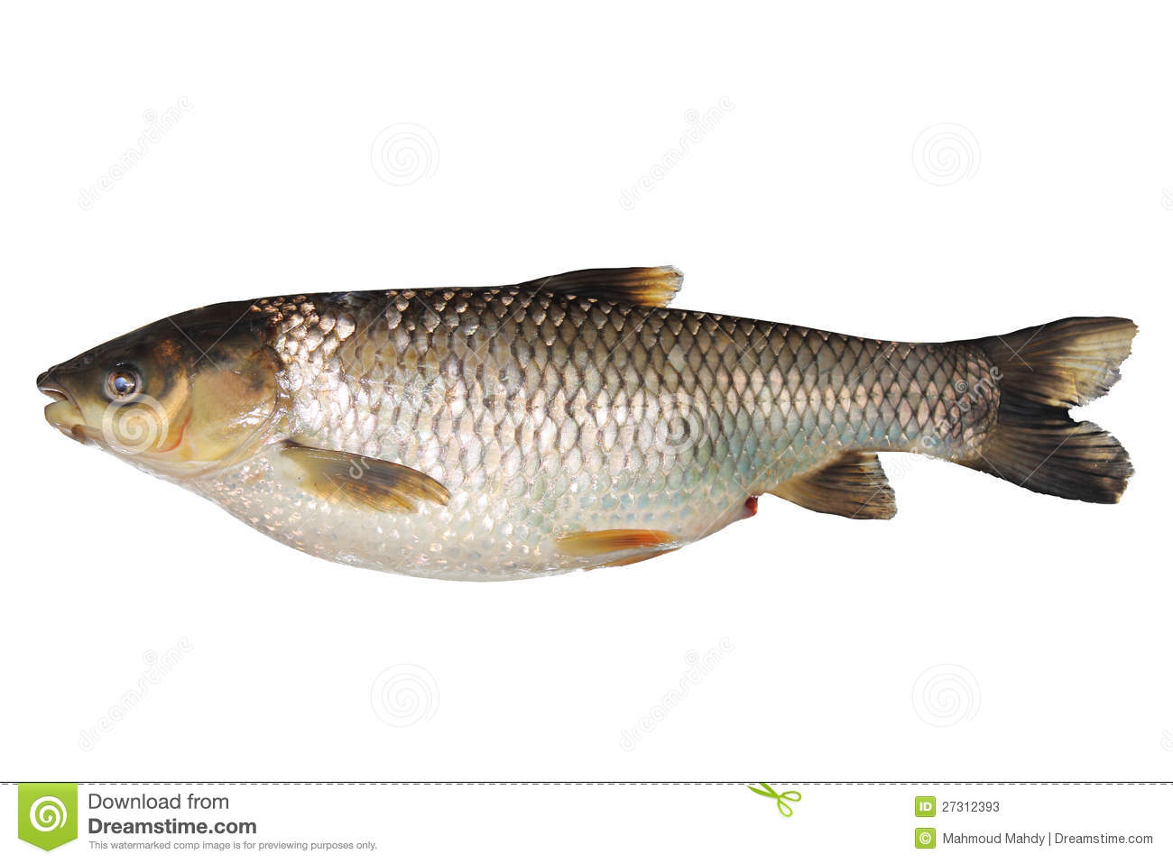 Tilapia fish stock photos image 27312393 for What is tilapia fish
