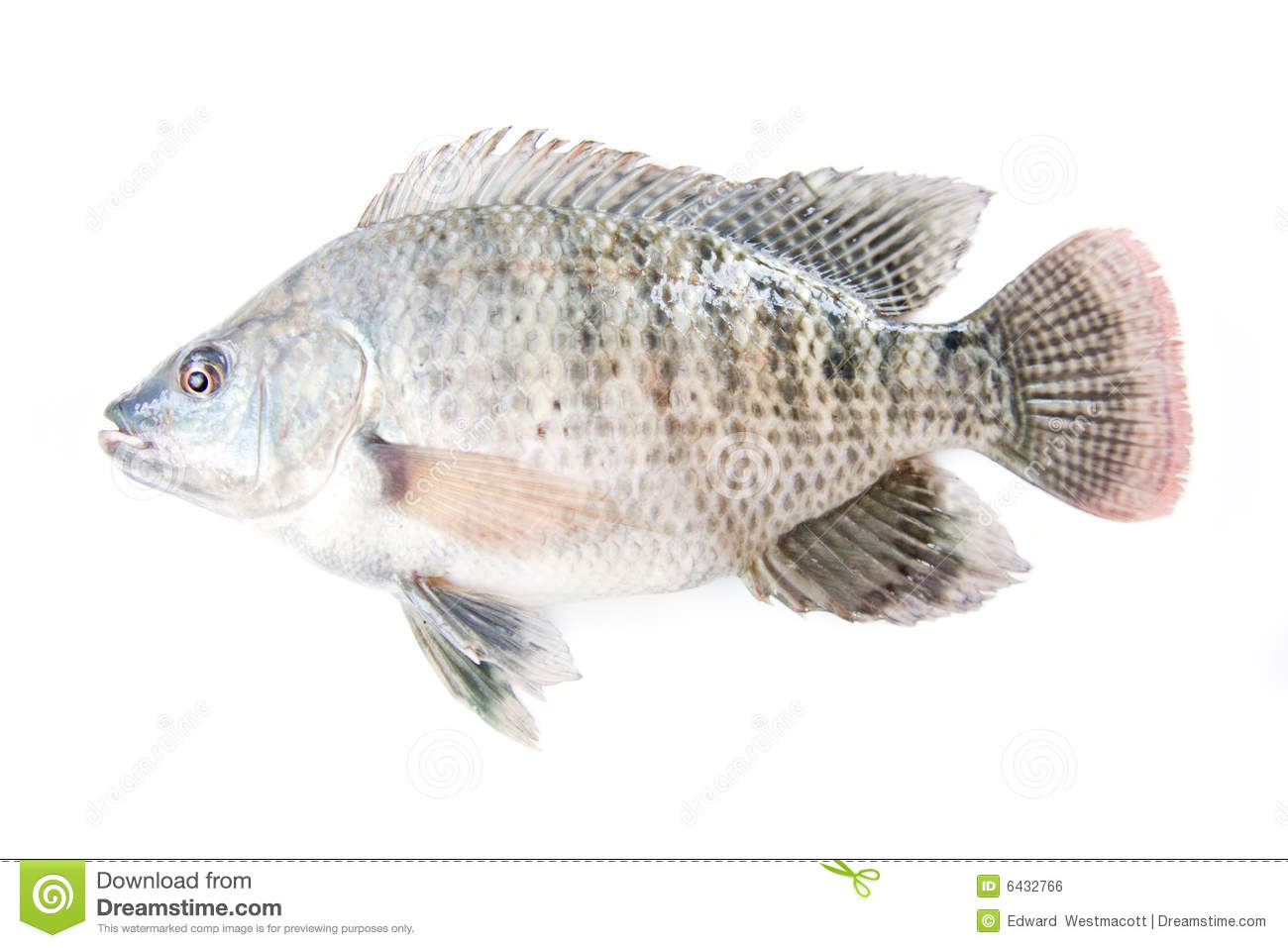 tilapia fish stock photo image of closeup tilapiine