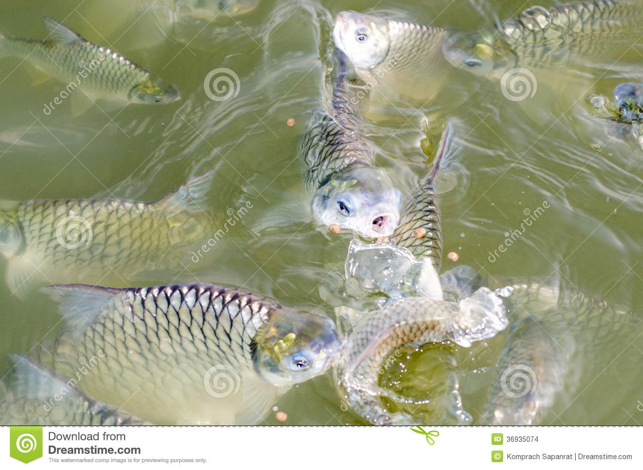 Tilapia fish eating food stock images image 36935074 for Is tilapia a good fish to eat