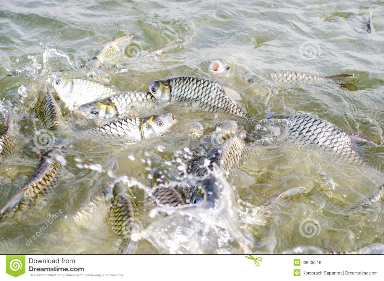 Tilapia fish eating food royalty free stock image image for Tilapia swimming