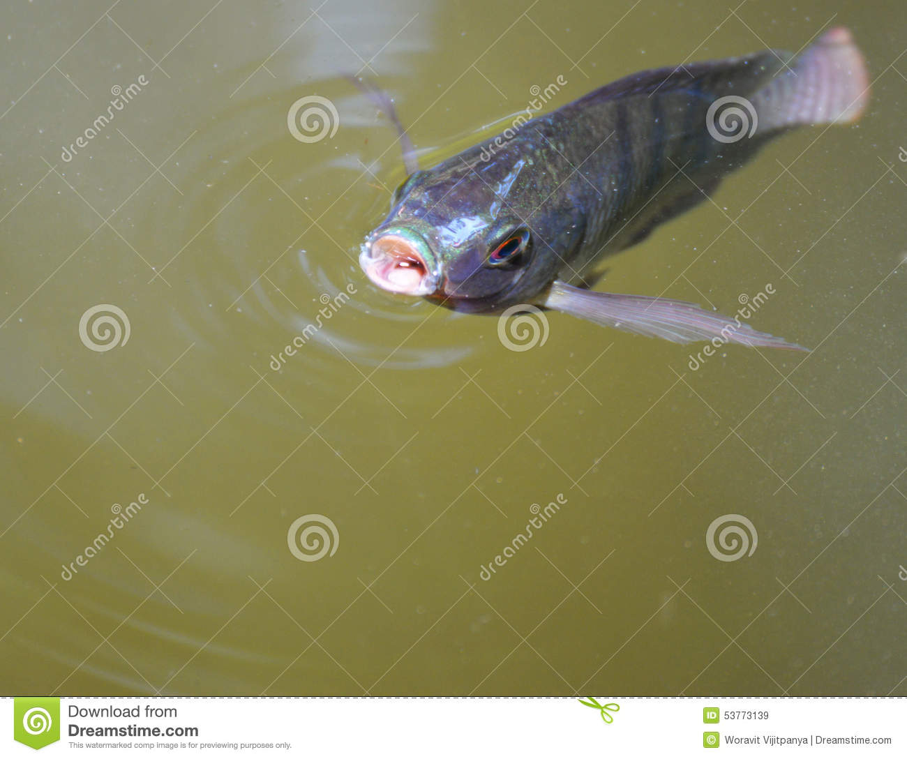 Tilapia fish stock photo image 53773139 for Tilapia swimming