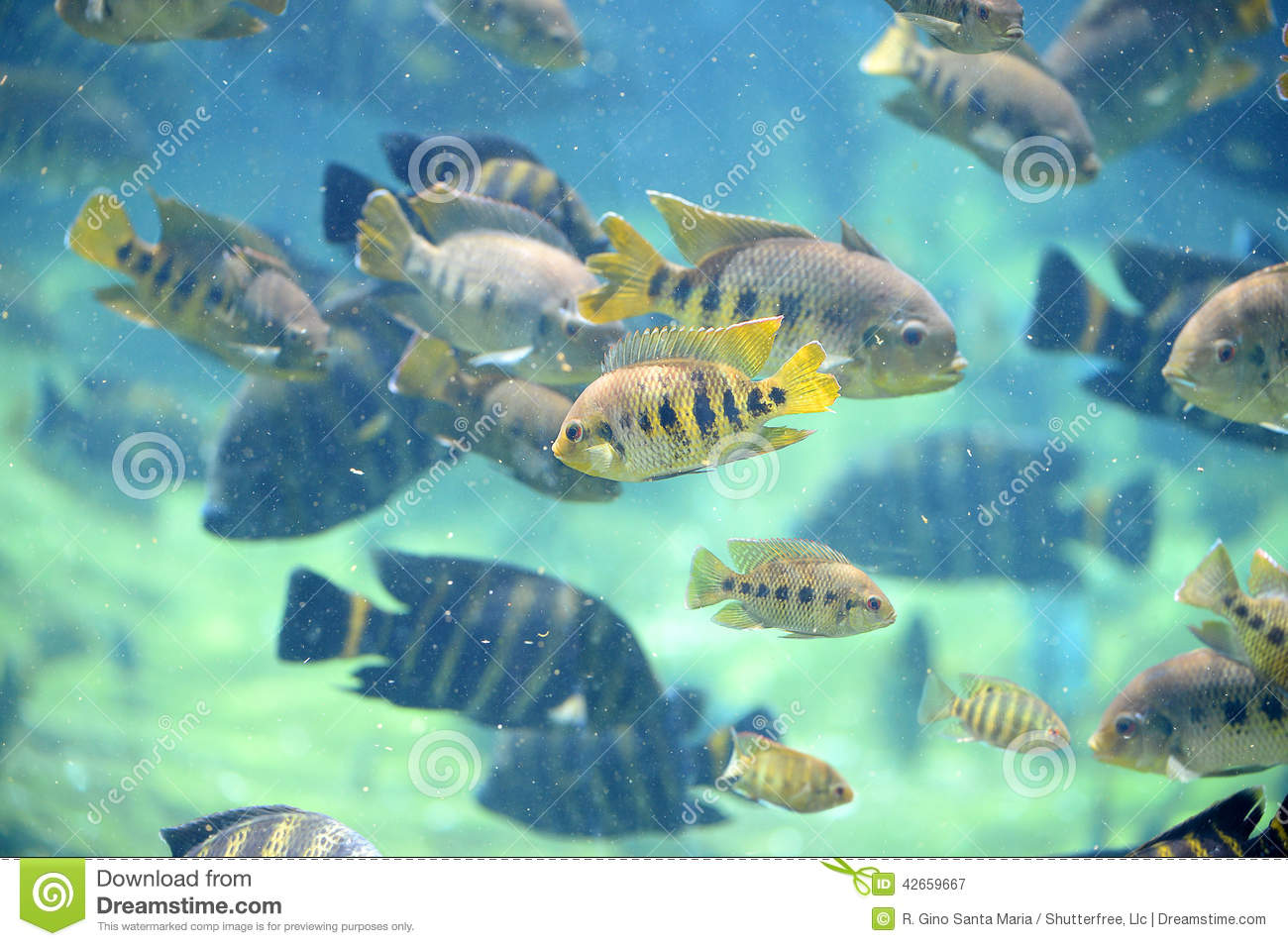 Tilapia fish underwater stock photo image 42659667 for Tilapia swimming