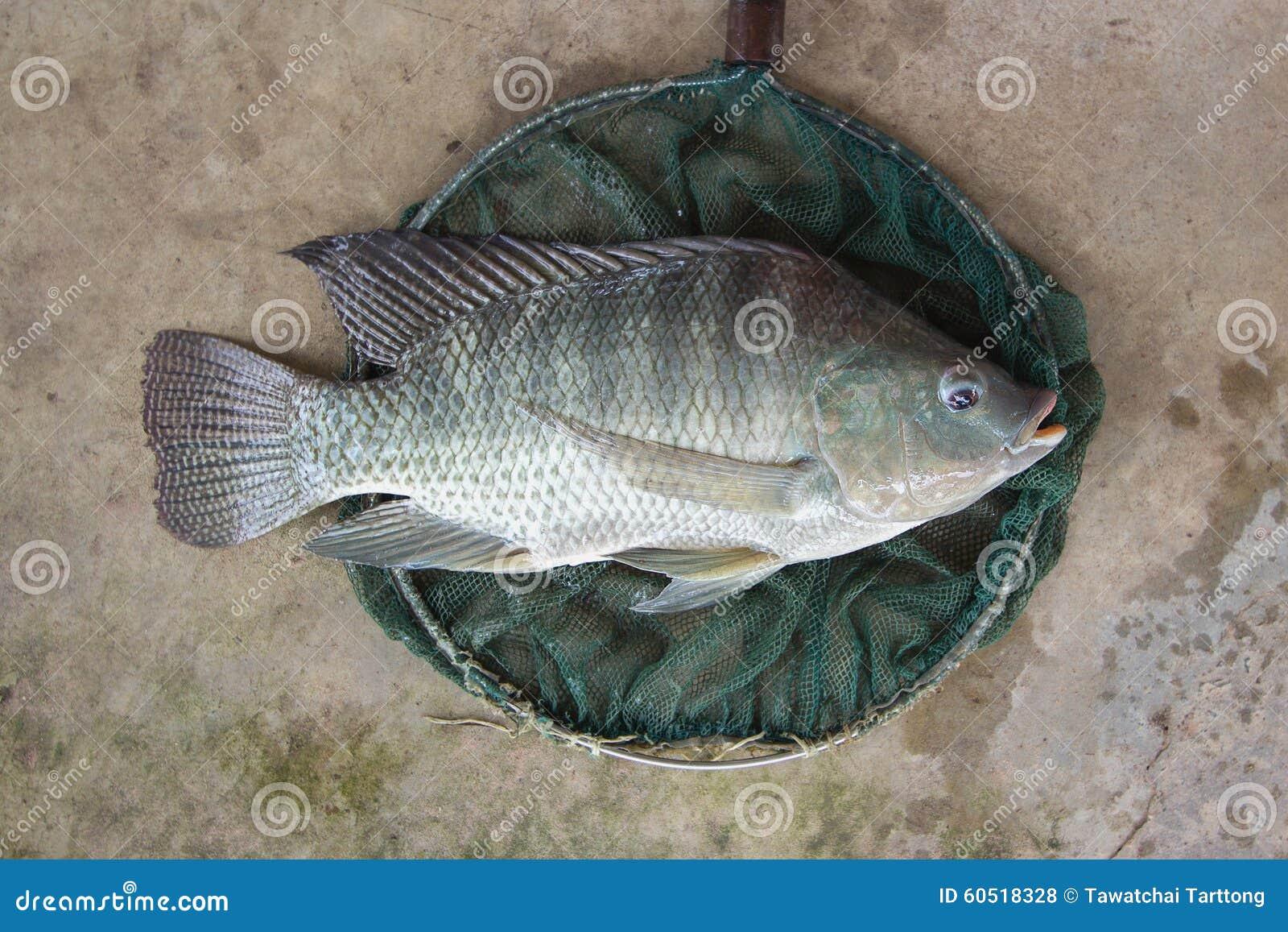 Tilapia oreochromis niloticus big size in fishing net for Fishing for tilapia