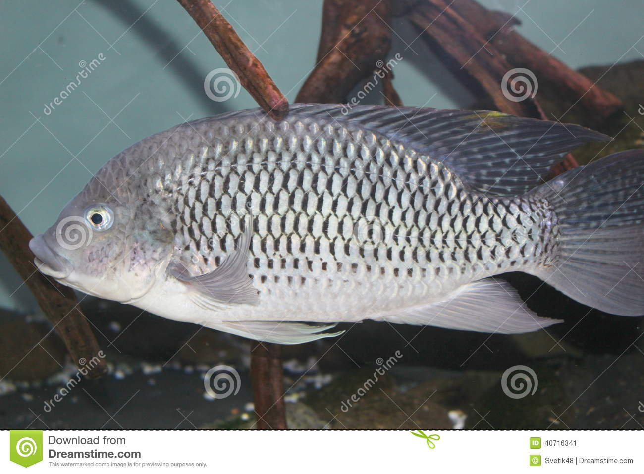Tilapia stock photo image 40716341 for Tilapia swimming