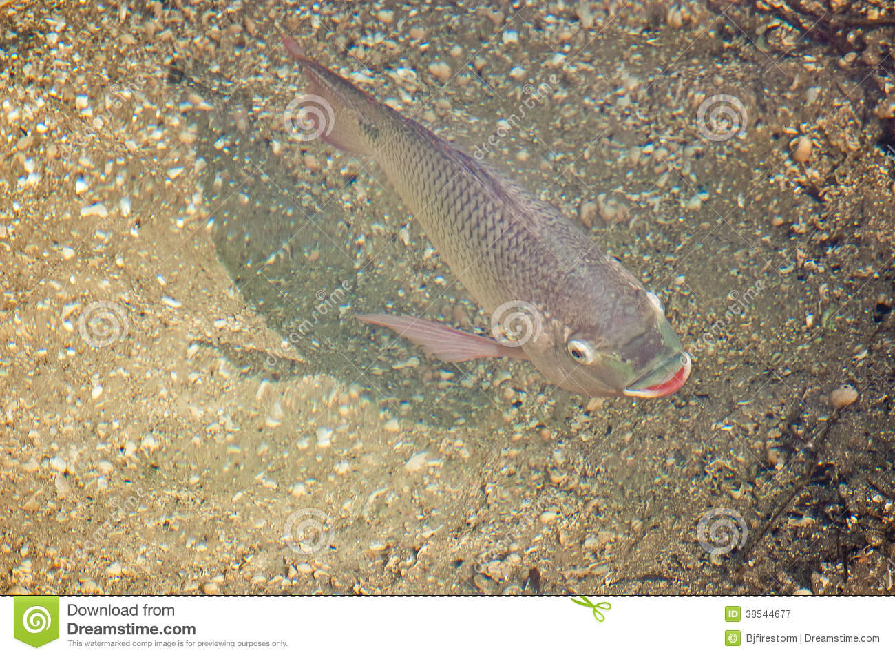 Tilapia Royalty Free Stock Photography Image 38544677