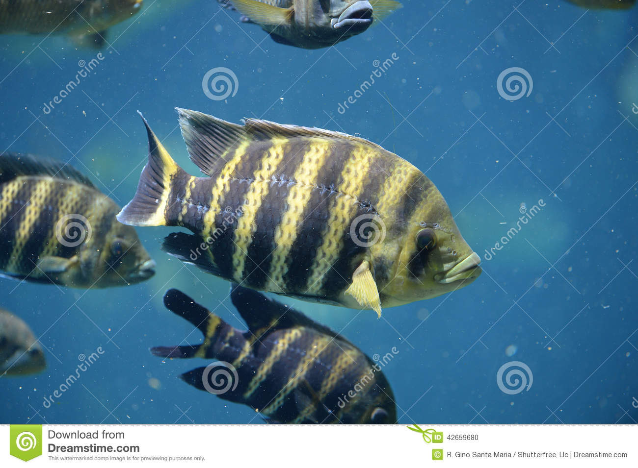 Tilapia underwater stock photo image 42659680 for Tilapia swimming