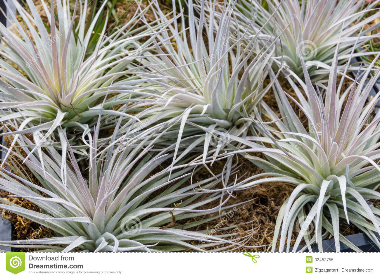 Tillandsia Plants For Sale At The Nursery Stock Image