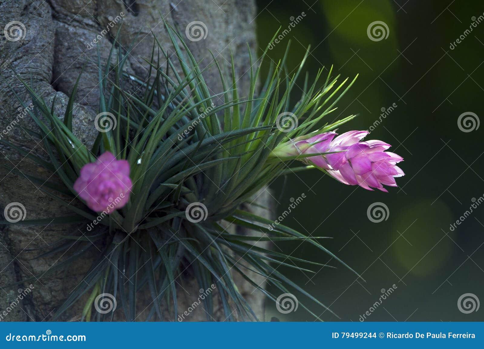 Tillandsia Stricta South American Bromeliad Stock Photo Image