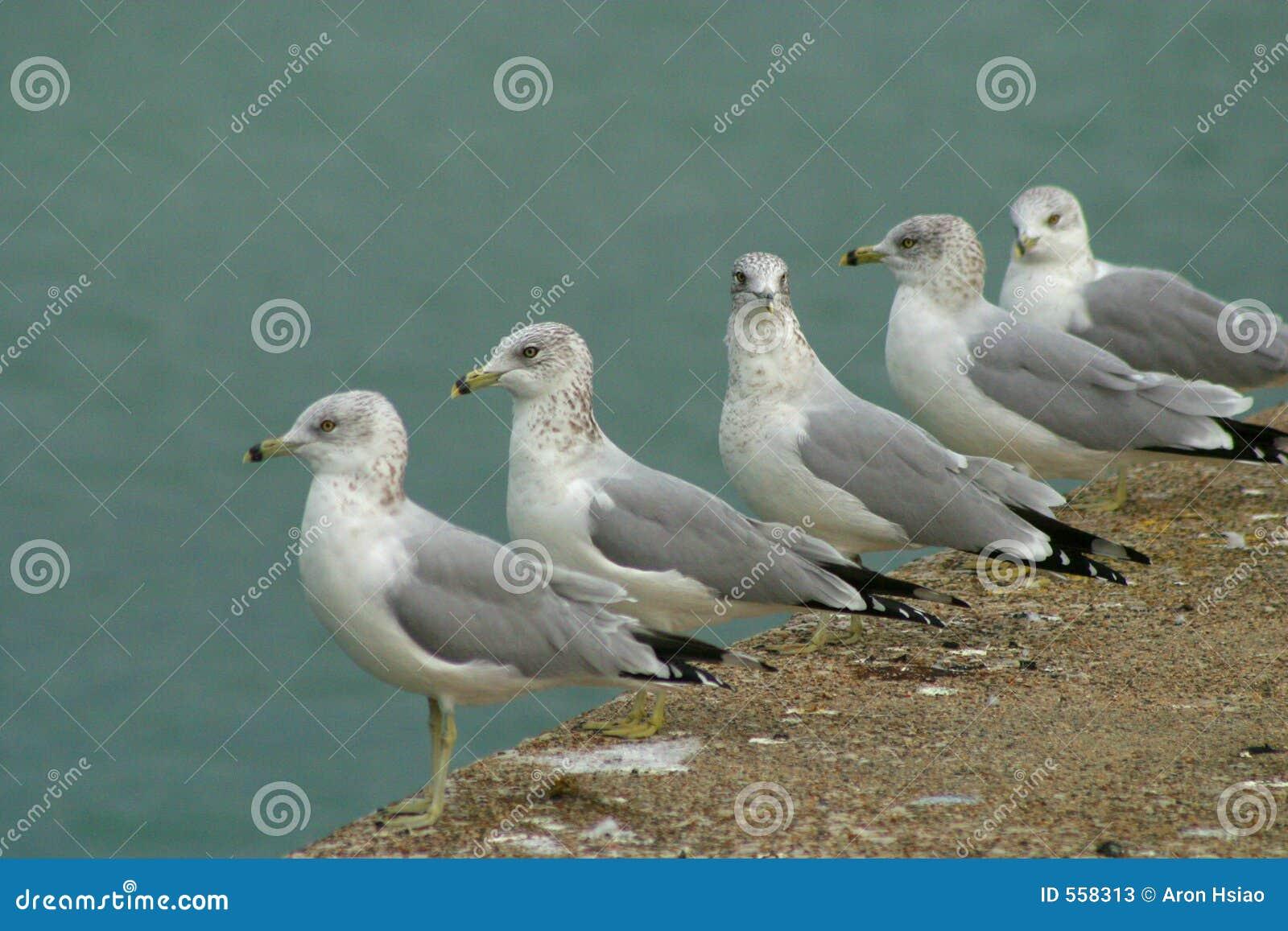 Tillbaka seende seagull