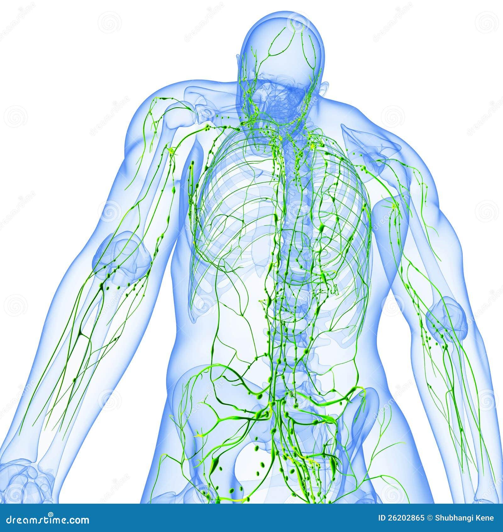 Tillbaka sikt av det genomskinliga lymphatic systemet